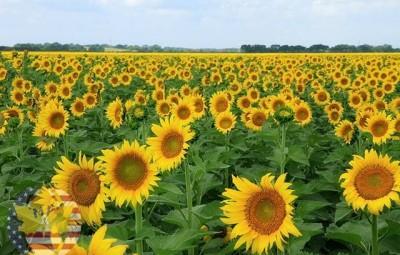 những cánh đồng hoa hướng dương ở Thái Lan