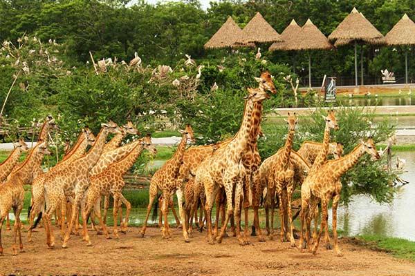 Safari World vẫn luôn là địa điểm vô cùng hấp dẫn và không thể nào bỏ qua